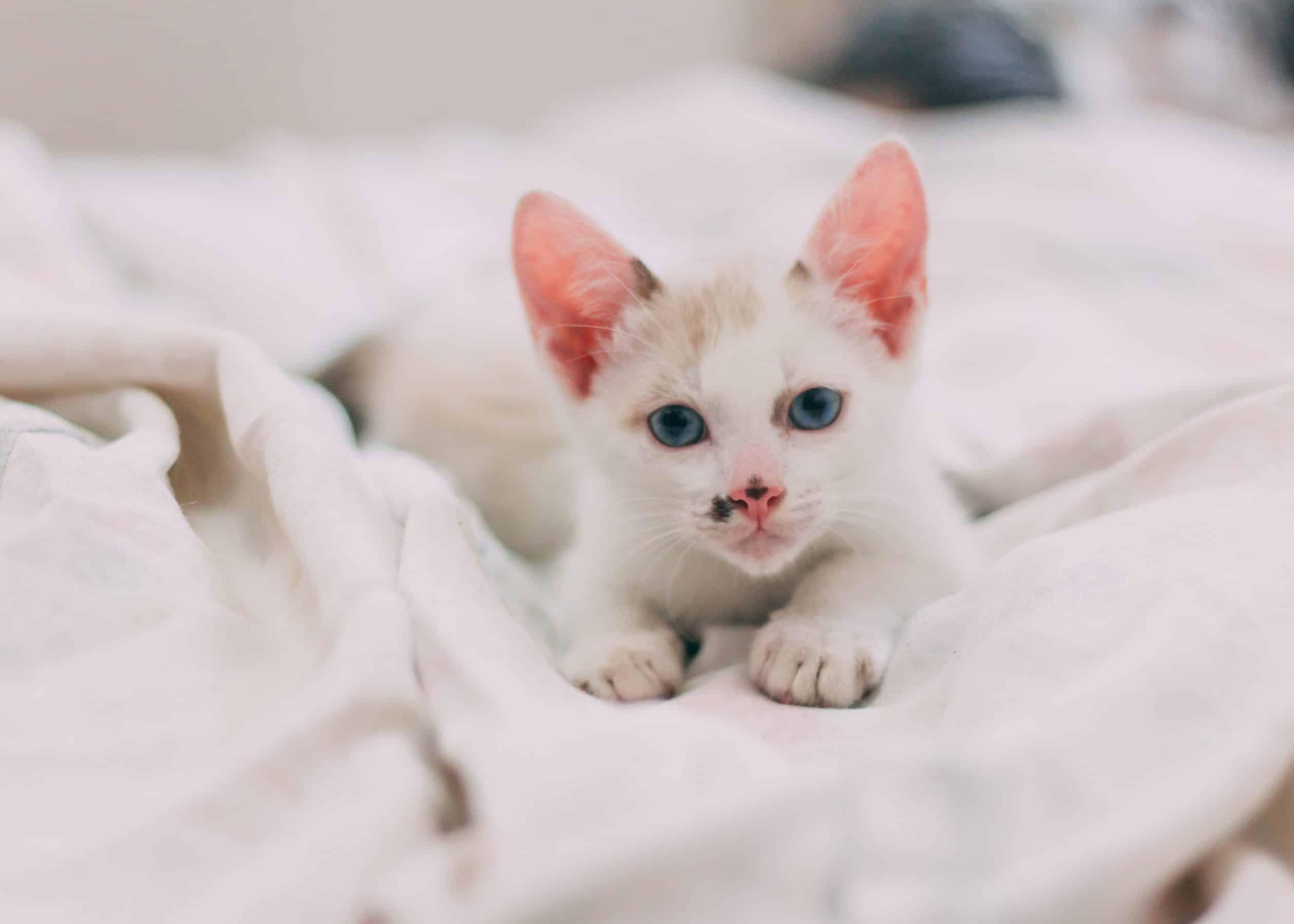 Comment Adopter Un Petit Chat Idiolava Lencia